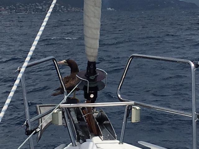 Kurz vor Simpson Bay schwimmt ein Seevogel auf dem Wasser, als wir vorbeifahren, fliegt er auf den Ankerbeschlag und lässt sich bis zur Bucht mitnehmen...