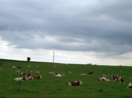 irische Kühe auf sattem Grün