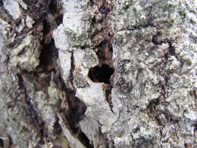 Links: Uitsluip opening van de Hoornaarvlinder (Sesia apiformis). Rechts mijn van de hoornaarvlinder. (Foto Remco Vos)