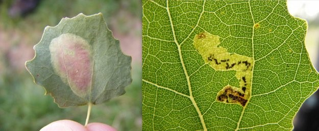 Links: Rode espenvouwmot (Phyllonorycter sagitella). Rechts: Ratelpopuliermineermot (Stigmella assimilella). (Foto's Remco Vos)