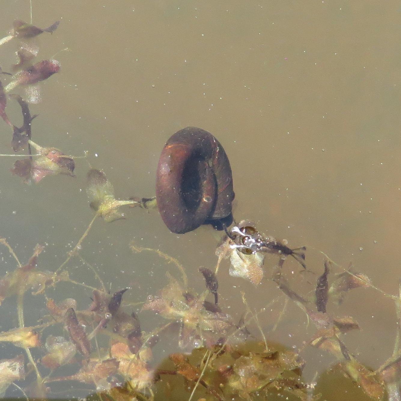 Gewone posthoornslak (Planorbis planorbis)