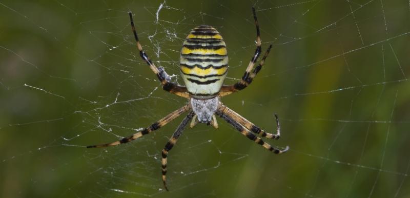 Argiope bruennichi - Wespspin (website EIS).