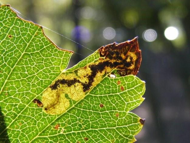 Zwartkopblaasmijnmot (Ectoedemia atricollis). (Foto Remco Vos)
