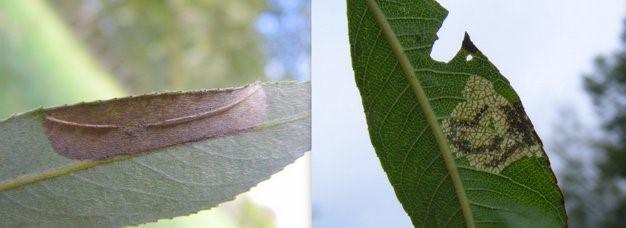 Links: Late wilgenvouwmot (Phyllonorycter pastorella). Rechts: Schietwilgmineermot (Stigmella obliquella). (Foto's Remco Vos)