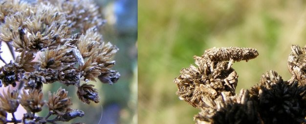 Links: Duizendbladkokermot (Coleophora argentula). Rechts: Bruine wormkruidkokermot (C. bornicensis). (Foto's Remco Vos)