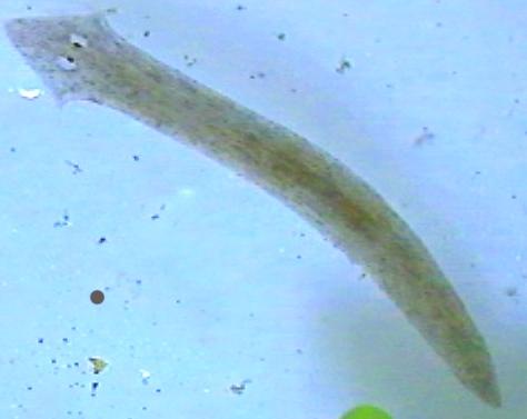 Voorbeeld van een platworm.