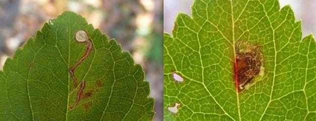 Sleedoornhangmatmot - Lyonetia prunifoliella, links en Spiraalmineermot - Stigmella prunetorum, rechts. (Foto's Remco Vos)