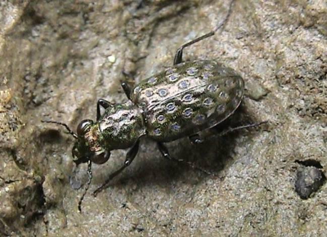 Elaphrus uliginosus in de Zumpe waargenomen in 1979 en 2016.