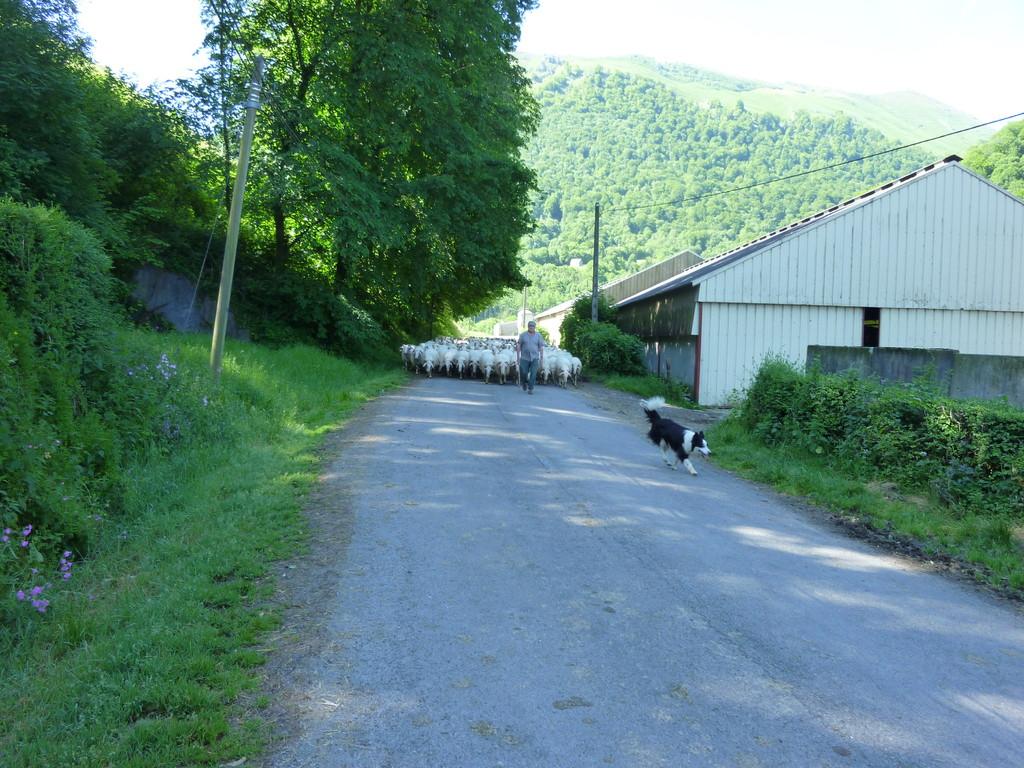 Arrivée du troupeau