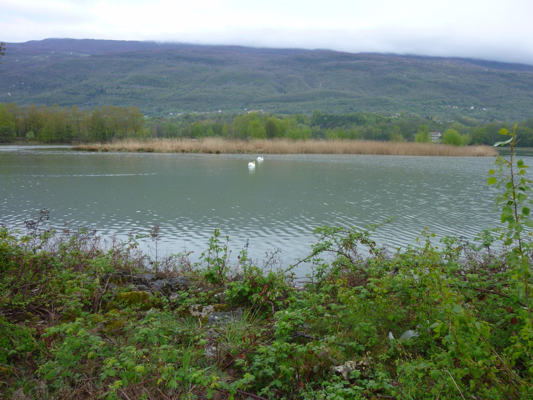 Le Rhône et ses cygnes