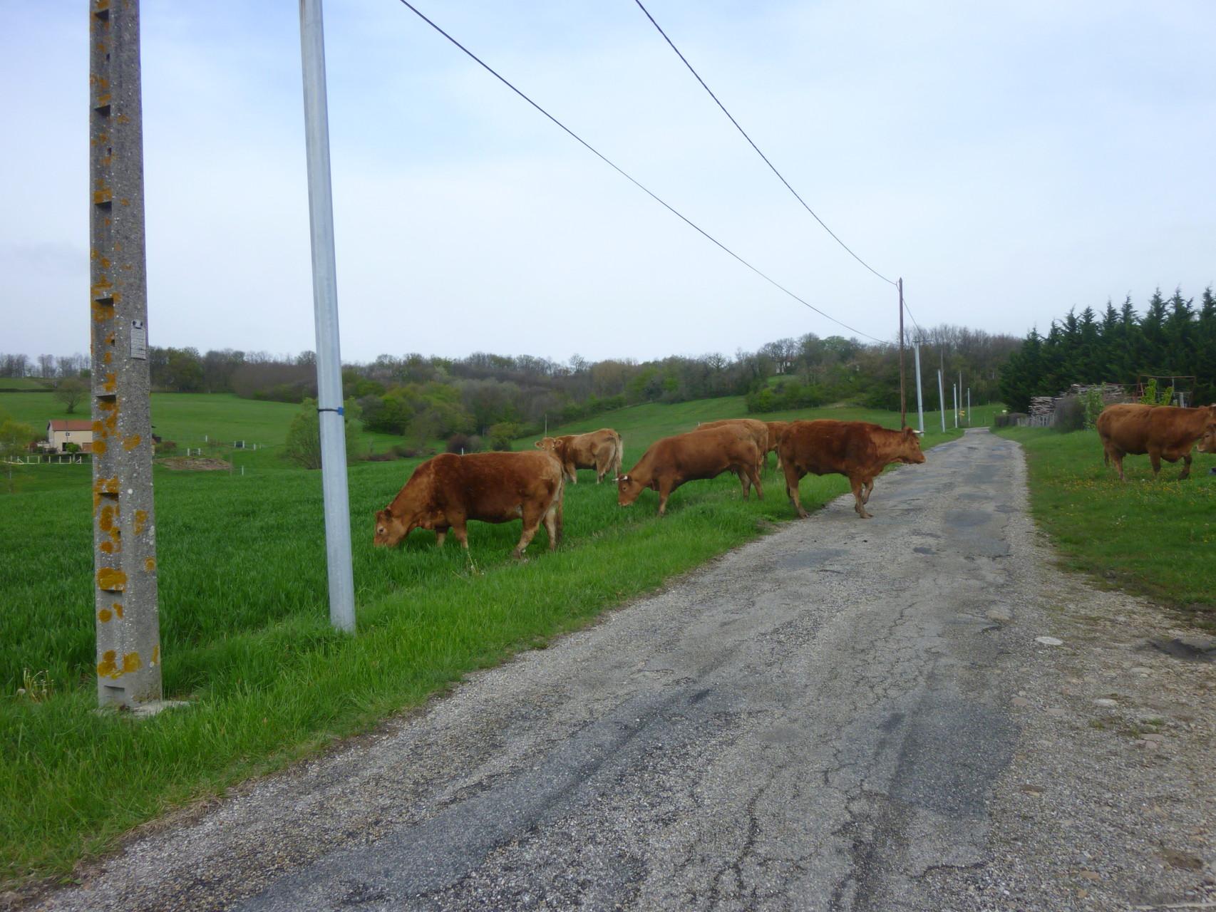 Quelques vaches qui font la prairie buissonnière