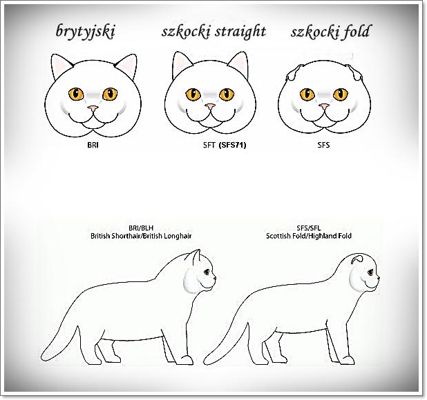Opis Rasy Perła Kujawpl Hodowla Kotów Brytyjskich I Szkocki Fold