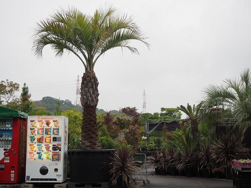 ヤシの木 ココスヤシ 樹高4m以上