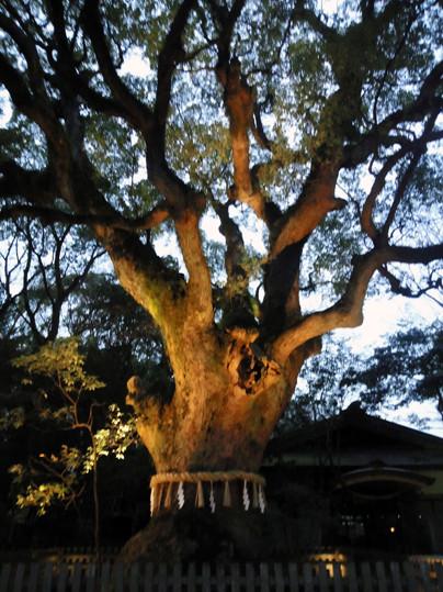 大楠 camphor tree