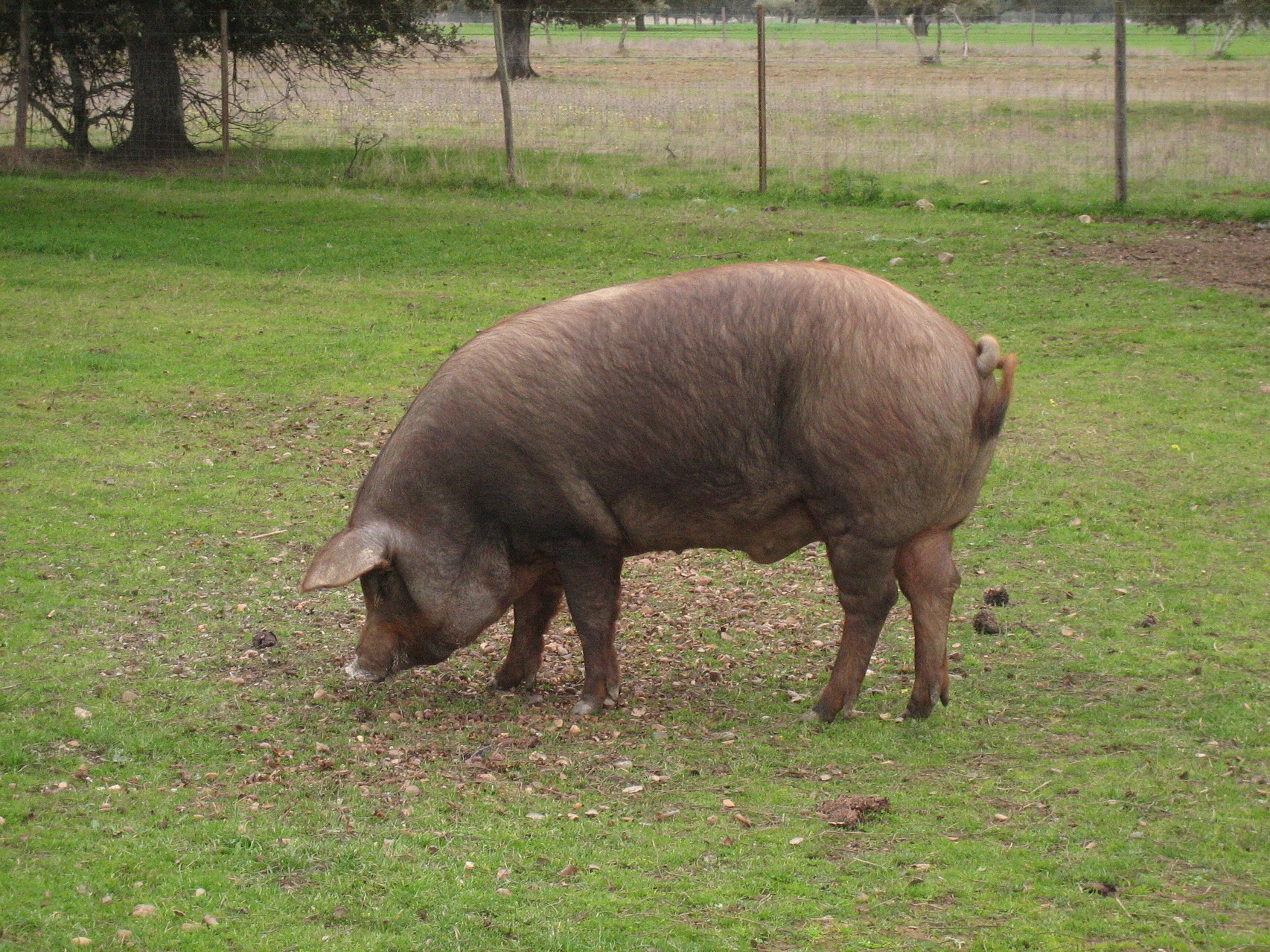 Die iberischen Schweine