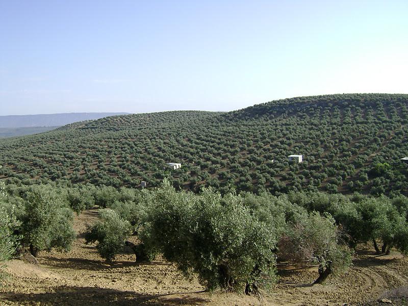El Olivar (Olivenfelder)