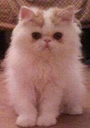 Babybest Cat Gigolo bébé