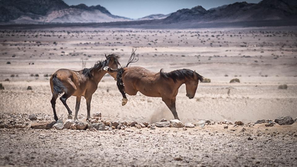"""namib wild horses namibia - eine begegnung mit einer neuen art, den """"namibs""""..."""