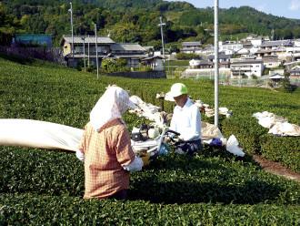 和束の茶農家