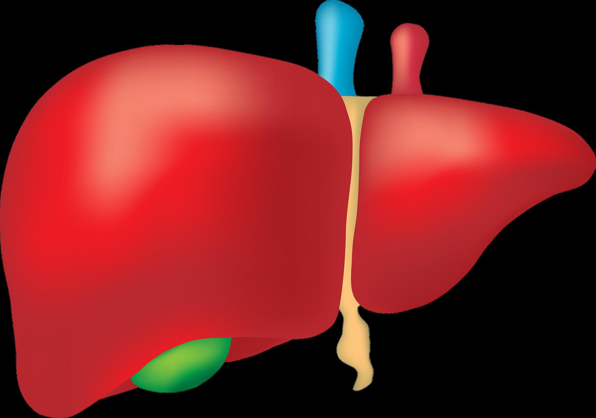 ダイエットと肝臓