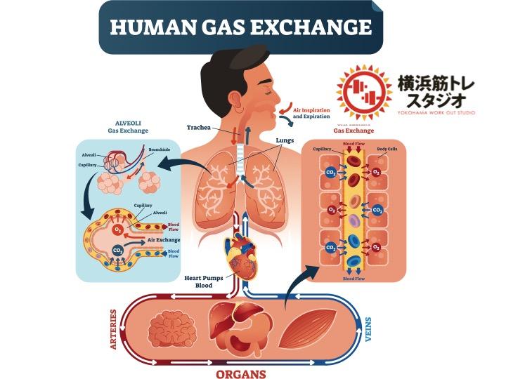 肺の免疫について