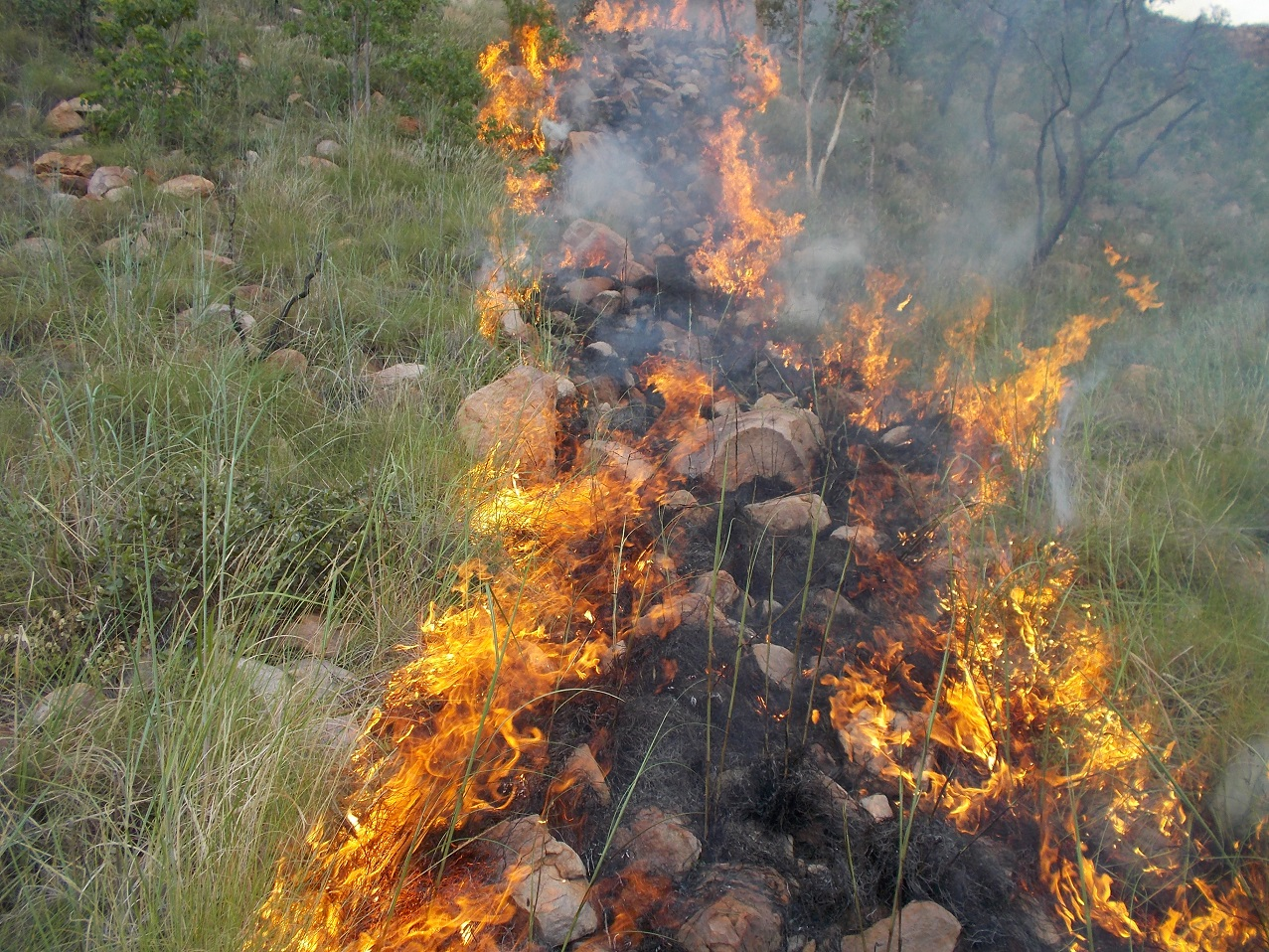 Spinifex nearly always burns. It is easier to control when it is wet