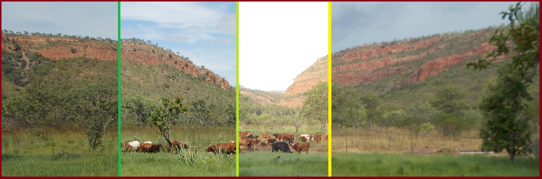 Using cattle to prepare the land for the coming dry-season
