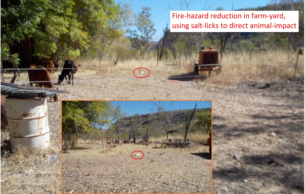 We put megafauna to work - even for fire-hazard reduction in the farm-yard; in this case using salt-licks to direct animal-impact