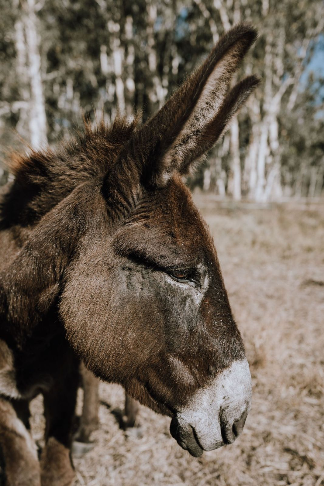 Donkeys arrived in the Kimberley as beasts of burden. We like to use them as fire-officers!