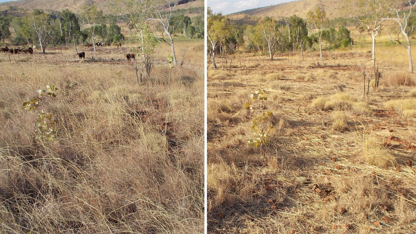 There is plenty of work for Australia's New Megafauna: mulching, even distribution of fertilizer and pruning vegetation