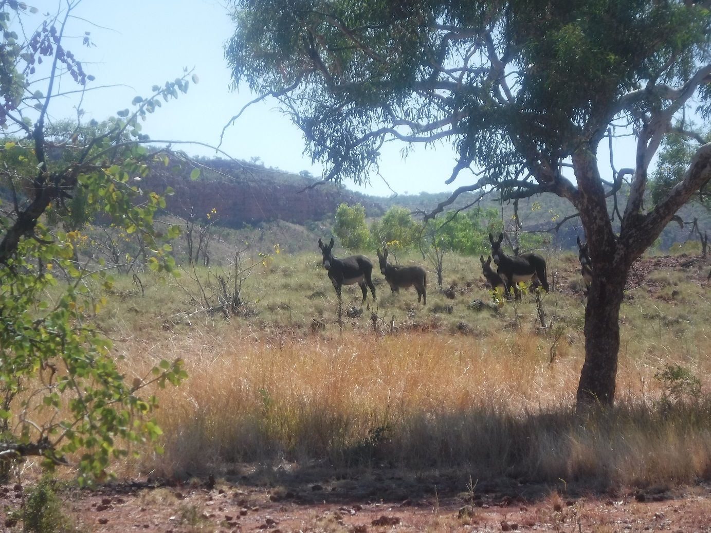 Donkeys reducing fuel-loads in areas where the cattle find life tough