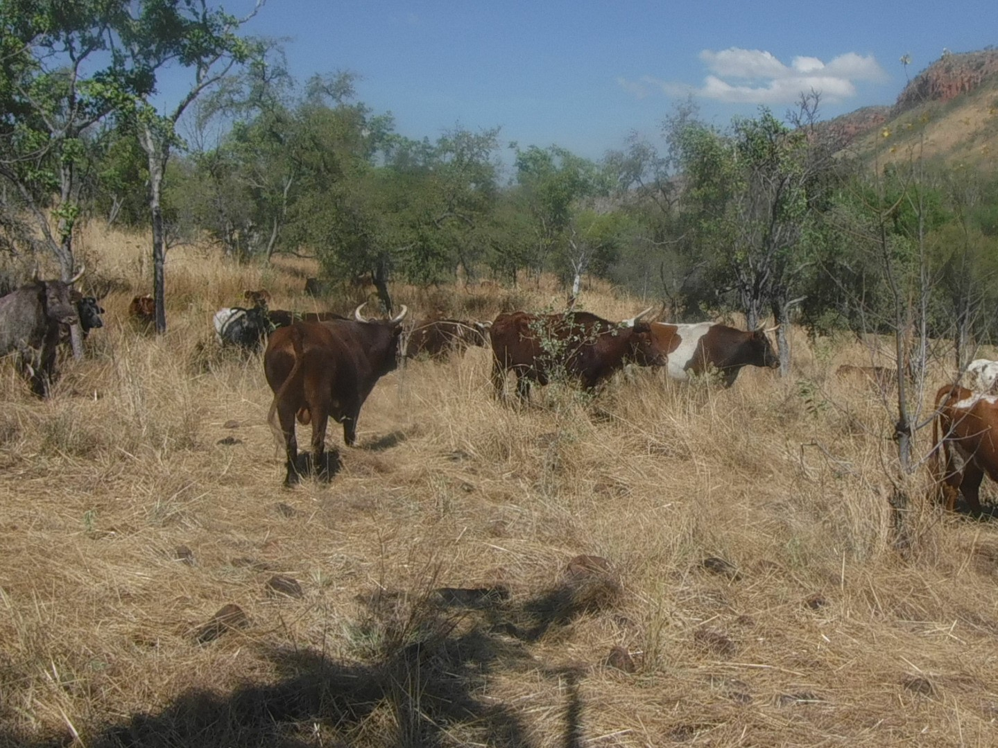 Cattle reducing fuel-loads predominantly in the valleys