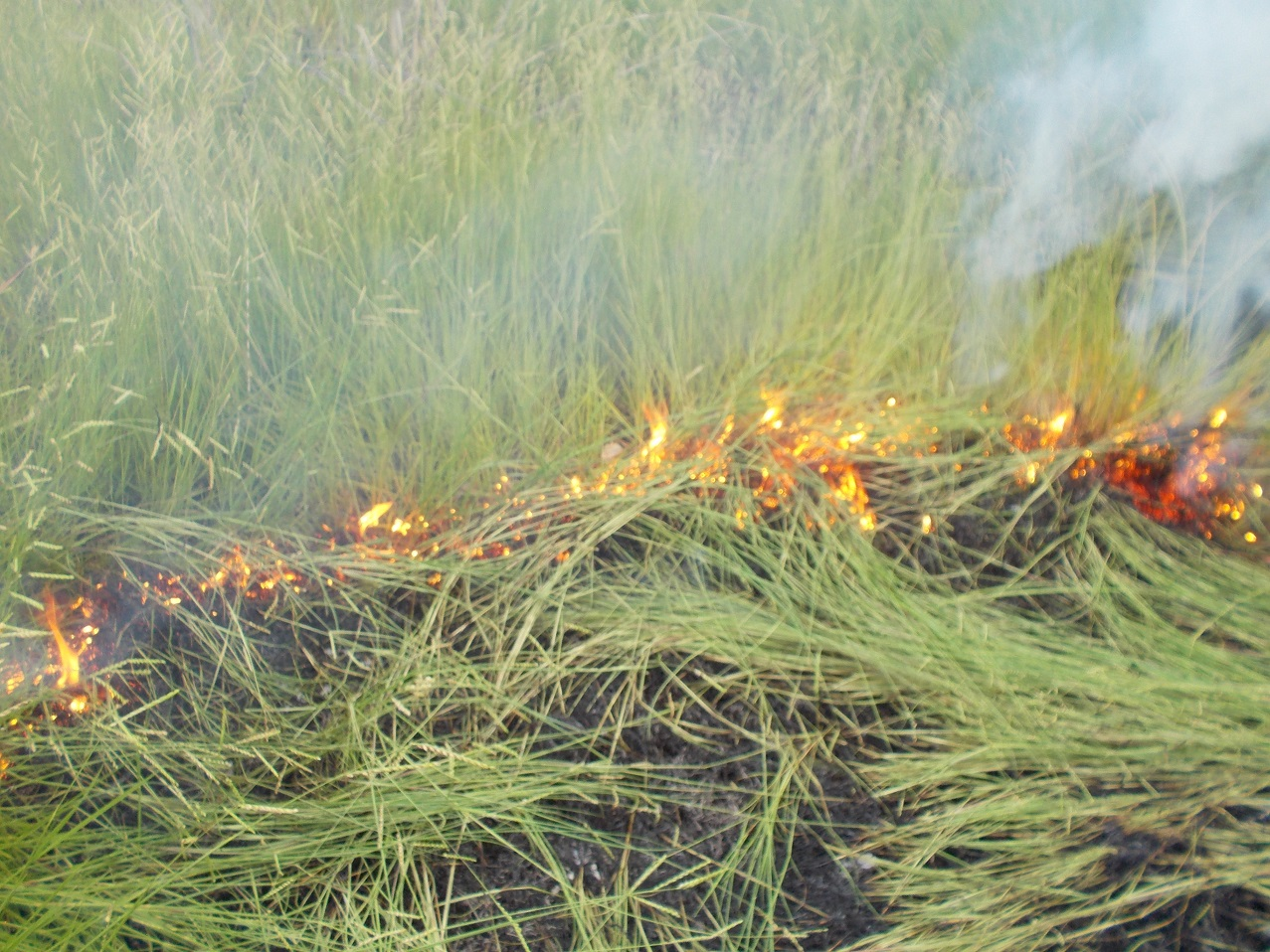Green grass being felled as the dry ground-cover burns…