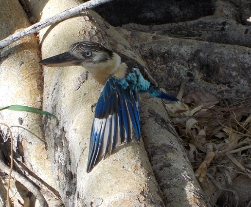 Blue Winged Kookaburra in trouble - hopefully he was able to catch enough dung-beetles to get his strength back and heal