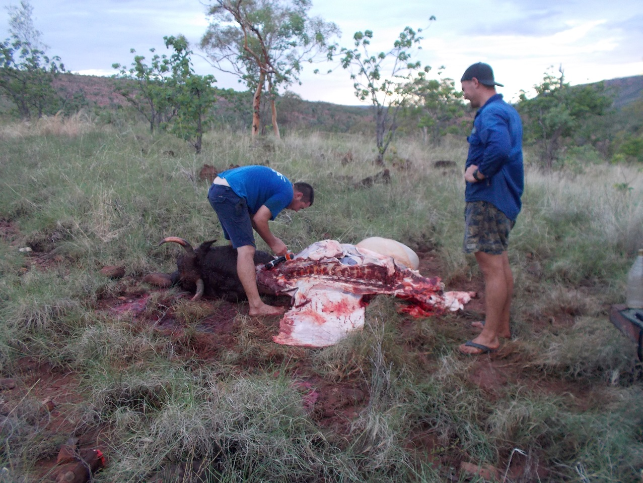 """""""Kasper"""" the wild bull paid the ultimate price in the currency of beef. He was a beautiful specimen, but after killing Kasper (the horse) and badly wounding Nibbles (Bob's mare) He needed to be sent to """"the big muster in the sky"""". Good work Ollie and Bob!"""