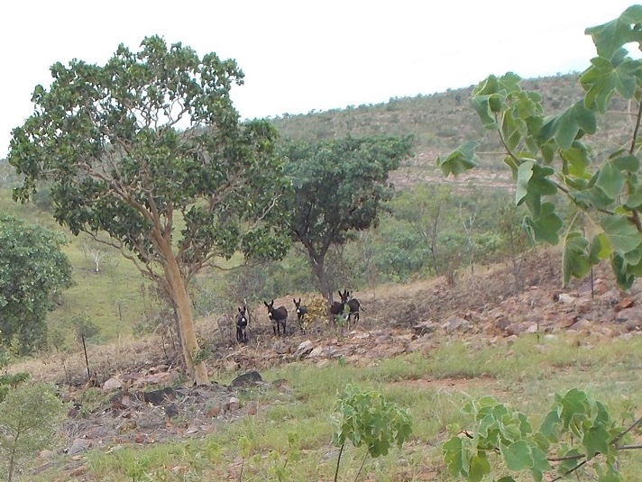 In the rough country we rely on donkeys to maintain low-fuel zones and thus mitigate the effects of wildfire