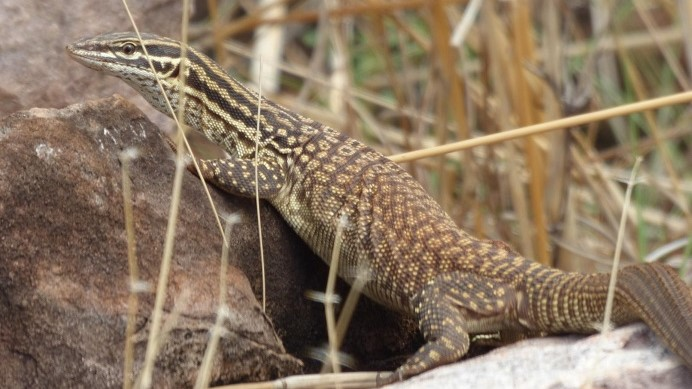 Wow! The first large lizard we have spotted since the arrival of the cane-toad in 2012!