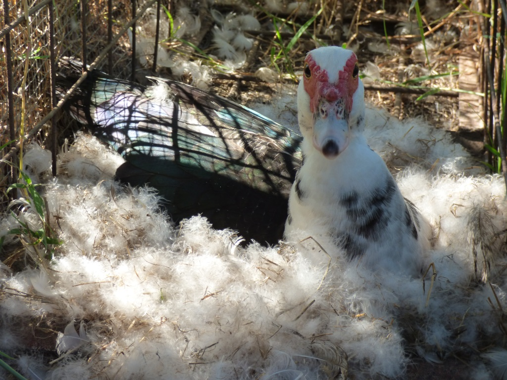 Mima's feather-bed