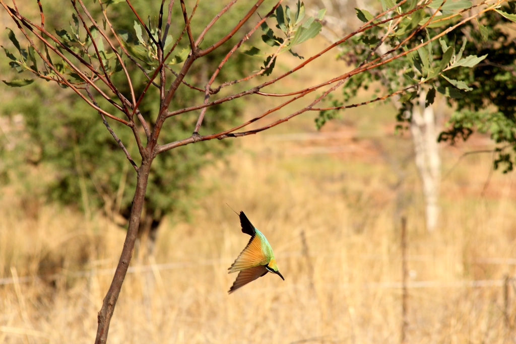 Aerobatics - Rainbow bee-eater