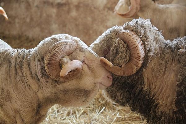 Les brebis sont mise avec les béliers à l'automne afin que les agneaux naissent au printemps