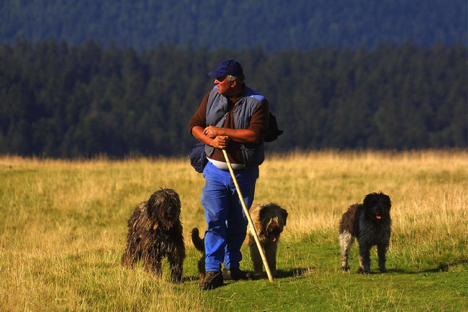 Les troupeaux sont généralement gardés par un berger afin d'optimiser les ressources alpines tout en protégeant le troupeau des attaques de loup