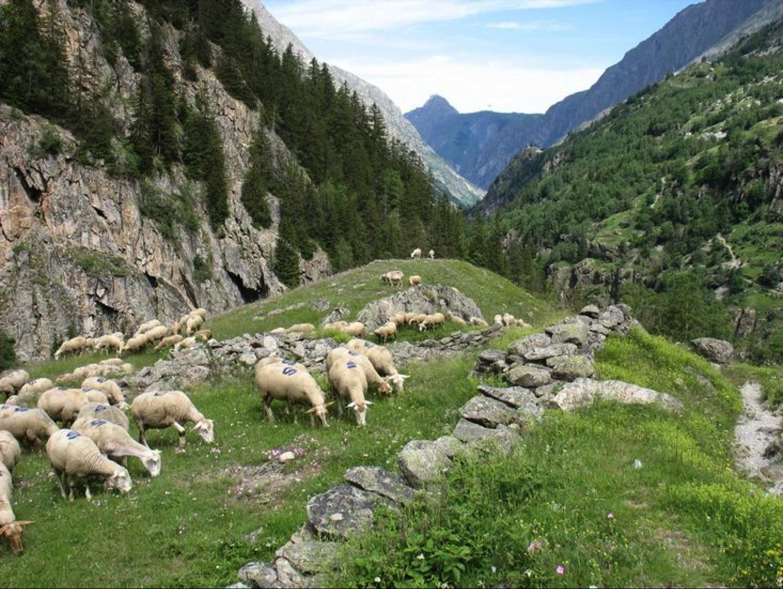 Les agneaux montent en alpage avec le reste du troupeau à partir du mois de juin et y resteront minimum 50 jours