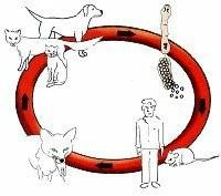 Kreislauf des Fuchsbandwurmes Quelle: Kreis Euskirchen/Veterinäramt
