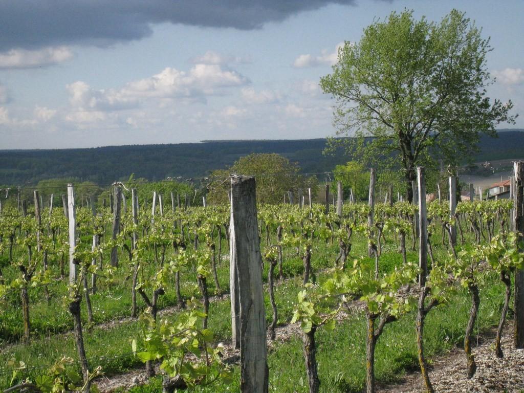Les vignes de la Cave de Mézin