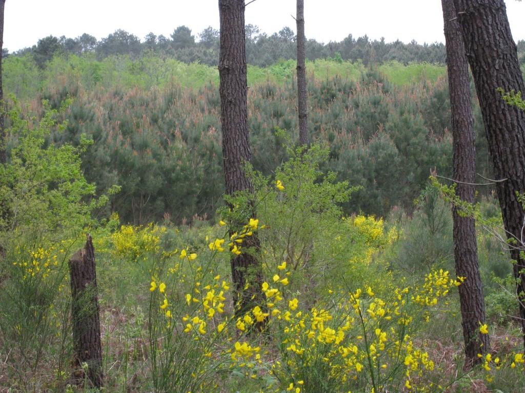 Les Landes aux printemps sont magnifiques à Mézin, aux fleurs d'acacias et de genêts.