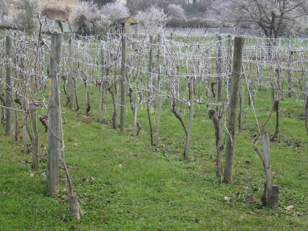 Vallée de la Gélise - Vigne à Mézin le 2 janvier 2015