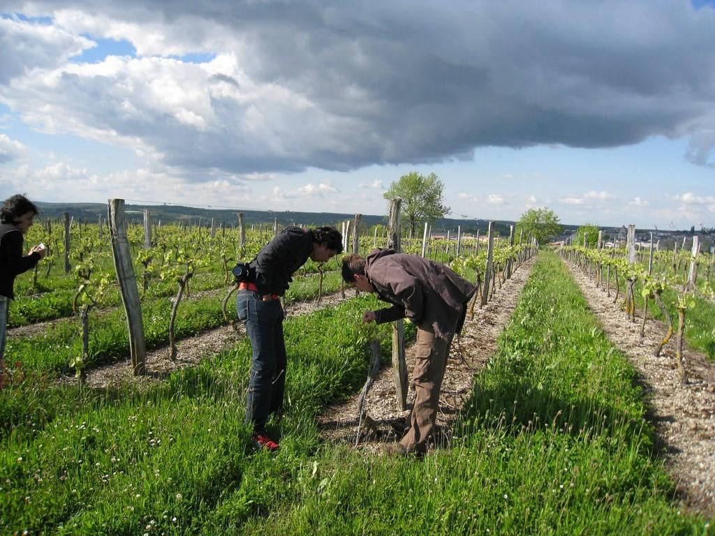 Les vignes du Mézinais depuis le point de vue du Not