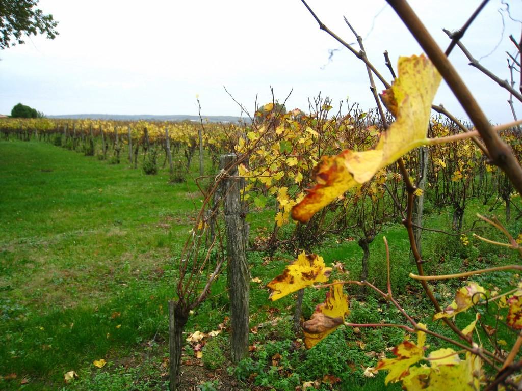 La Cave de Mézin - Les vignes en fin d'automne