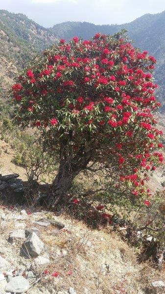 Rhododendren