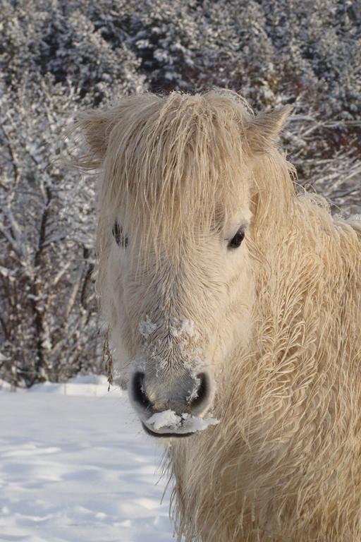 Pahiva des Girards dans la  neige